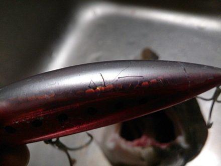 ヒラメの歯型